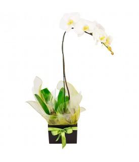 Orquídea phalaenopsis...