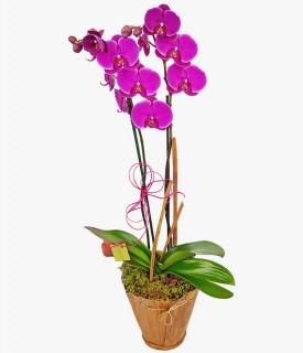 Orquídea Phalaenopsis Linda por si só!