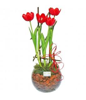 Tulipa Encantadora 01