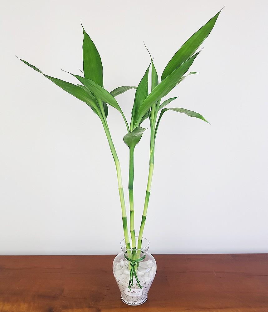 Bambu da Sorte Felicidade