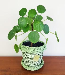 Planta da Amizade - Pilea