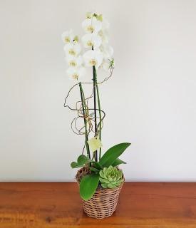 Orquídea com suculenta Aquela Paz
