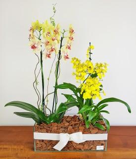 Orquídeas - Rainhas da beleza