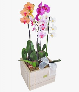 Magníficas Orquídeas Phalaenopsis