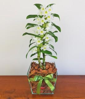 Suavidade das Palavras - orquídea dendrobium