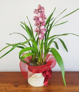 Orquídea Cymbidium Meu grande Amor