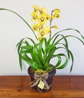 Orquídea Cymbidium Todo amor que houver no mundo