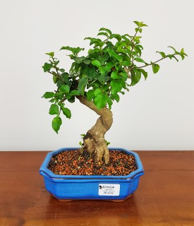 Bonsai Ligustrum 06 anos