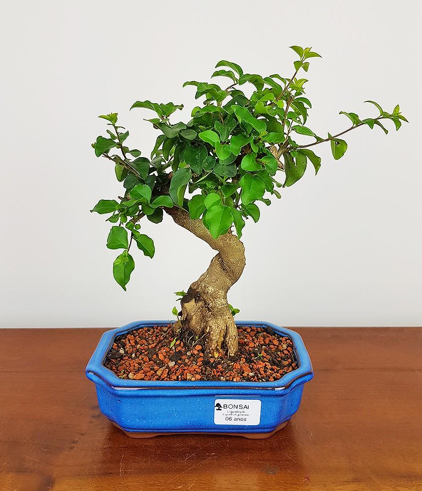 Bonsai Ligustrum 06 anos