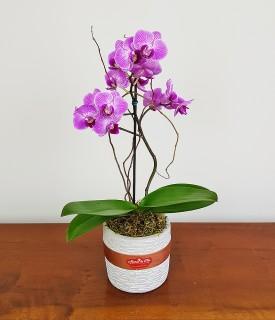 Mini orquídea Muito Chique