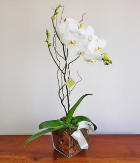 Orquídea Phalaenopsis Mensageira