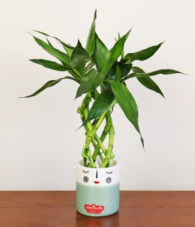 Bambu da Sorte Divertido para decorar