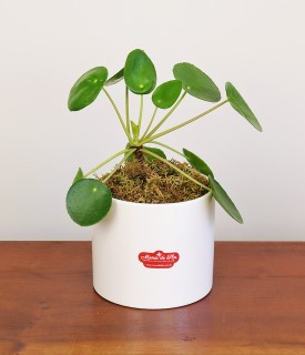 Planta da Amizade - Pilea para decorar
