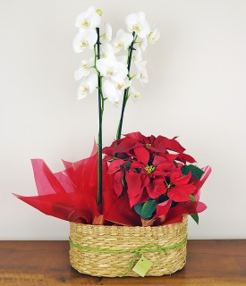 Orquídea e Flor do Natal