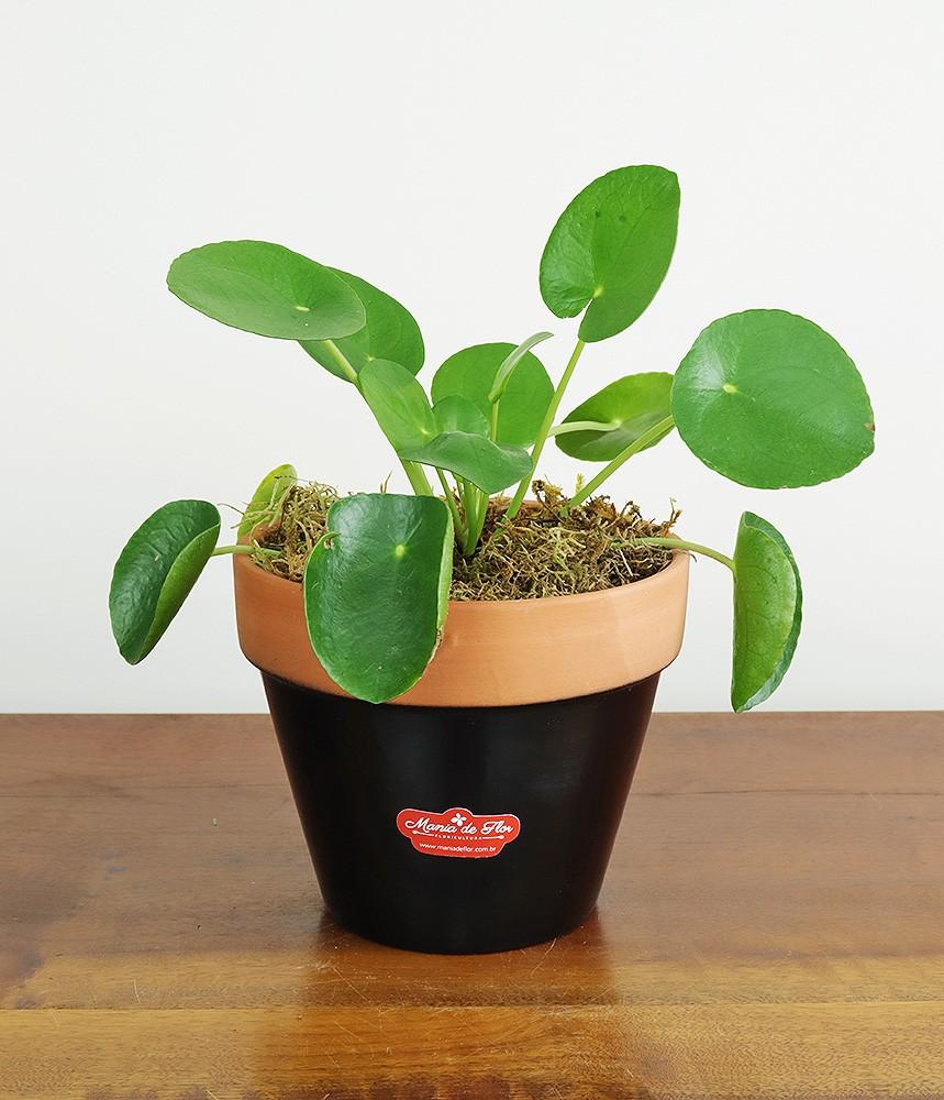 Planta da Amizade - Pilea em vaso preto para decorar