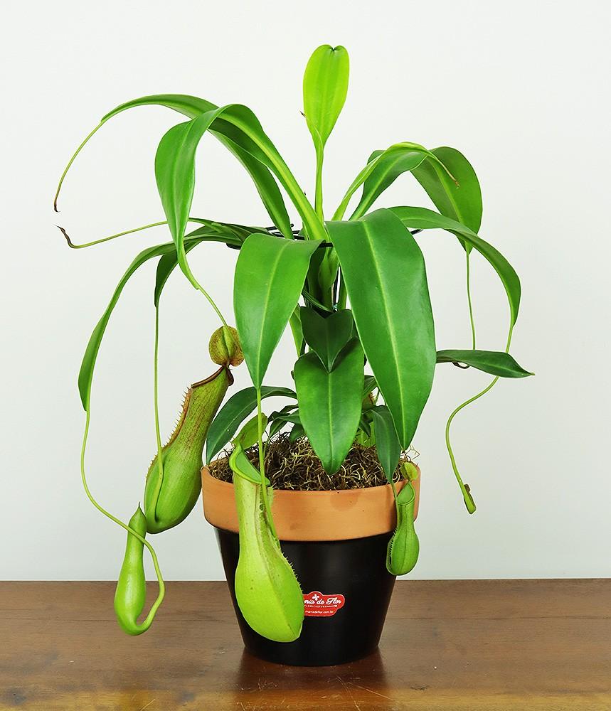 Planta Carnívora Nepenthes para decorar