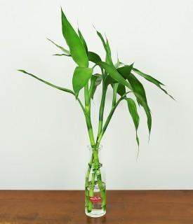 Bambu da Sorte e Bons Fluídos