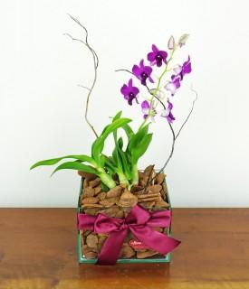 Mini Orquídea Denfalen