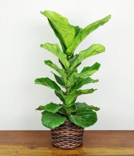 Ficus Lyrata Cachepô Marrom
