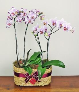 Beleza em Dose Dupla - orquídea phalaenopsis