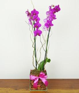 Linda como a vida deve ser - orquídea phalaenopsis