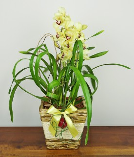 Orquídea Cymbidium Felicidade em Flor