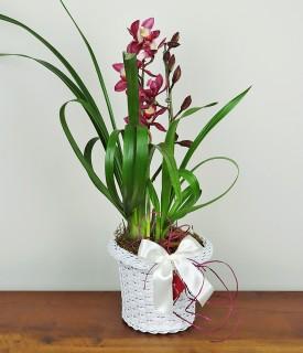 Orquídea Cymbidium Mil Motivos pra Comemorar