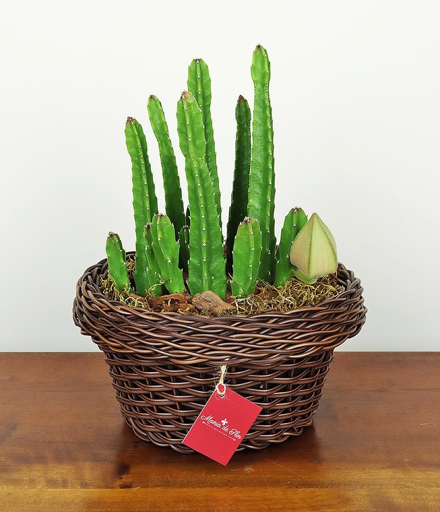 Cactus Estrela ou Stapelia