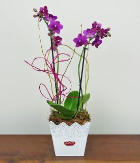 Orquídea Phalaenopsis Delicada Beleza