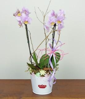 Orquídea Phalaenopsis Mini Fofurice