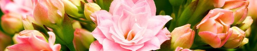 Coleção Calandiva | Mania de Flor