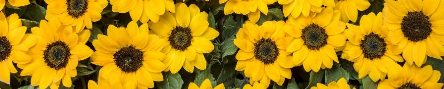 Coleção Girassol | Mania de Flor