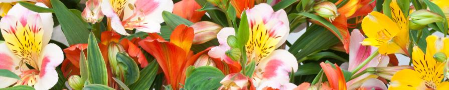Coleção Alstroeméria | Mania de Flor