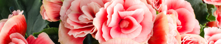 Coleção Begônia | Mania de Flor